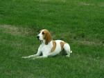 Small Swiss Hound picture
