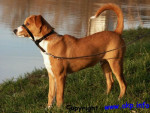 Austrian Pinscher picture