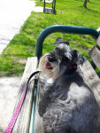 Trudy - Miniature Schnauzer (11 years)