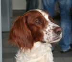 Irish Red and White Setter picture
