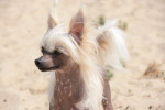 Lady Adaezea - Elevage Pays Bas DCL - Chinese Crested Dog
