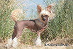 Lady Adaezea de DCL - Elevage Pays Bas - Chinese Crested Dog