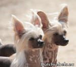 Lady Adaezea et Lady Arousha - Pays Bas DCL - Chinese Crested Dog