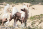 Chien Chinois - Elevage DCL - Chinese Crested Dog