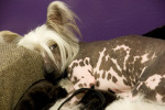 Chinese Crested Dog picture