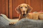 Wirehaired Vizsla picture
