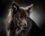 Blue Bay Shepherd picture