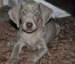 Lilou - Weimaraner (3 months)