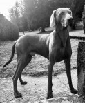 M'TCHAI-ICI De Gray Ghost de la Chevalerie - Male Weimaraner (2 years and 7 months)