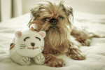 Brussels Griffon picture