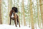Snow - Boxer