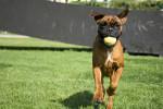 Boxer picture