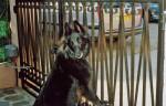 Urga du Bois Garrot gardienne - Groenendael Belgian Shepherd