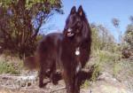 Urga du Bois Garrot - Groenendael Belgian Shepherd