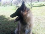 Harko des Pistes Noires 11 mois - Groenendael Belgian Shepherd (11 months)