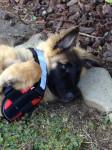 Harko des Pistes Noires à 4 mois - Groenendael Belgian Shepherd (4 months)