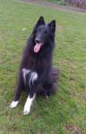 Gajeel des Perles Noires - Male Groenendael Belgian Shepherd (4 years)