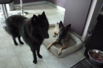 Looky - Male Groenendael Belgian Shepherd (1 year)