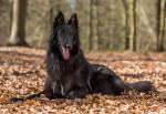 Groenendael Belgian Shepherd picture