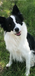 Jango - Male Border Collie (4 years and 1 month)
