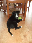 Chaussette - Male Border Collie (5 years)