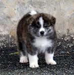 AKITA - Male Akita Inu Hatchy (3 months)