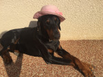 Tyser - Male Doberman (7 years and 10 months)