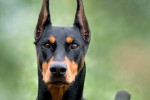 Dobermans - Male Doberman