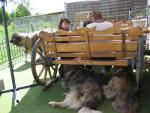 Berger du Caucase - Caucasian Shepherd Dog