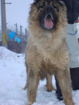 Simba de Brailita-Berger du caucase femelle - Caucasian Shepherd Dog