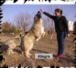 S-Allegra de Brailita- berger du caucase - Caucasian Shepherd Dog