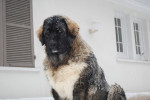 H´iakov Berger du Caucase 7 mois - Caucasian Shepherd Dog (7 months)