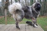 Hurrican Berger du Caucase 10 mois - Caucasian Shepherd Dog (10 months)