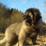 tafari - Male Caucasian Shepherd Dog (4 months)