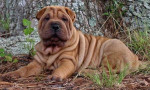 Shar pei picture