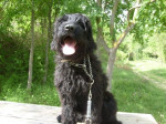 Fly Briard de 13 mois - Briard (1 year and 1 month)