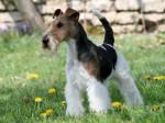 Caruso des Fox d'Elodie - Wire Fox terrier