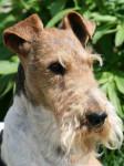 Fox Terrier à poil dur : Caruso des Fox d'Elodie - Wire Fox terrier