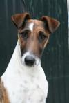 Angie de Camp Rémy - Wire Fox terrier