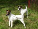 Fox terriers à poil lisse de Camp Rémy - Wire Fox terrier