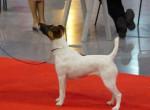 Angie de Camp Rémy : fox terrier à poil lisse - Wire Fox terrier