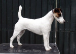 Cérès de Camp Rémy : Fox terrier à poil lisse - Wire Fox terrier