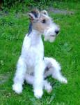 GWENNKI DU HALLIER D'ELTINOR, Fox Terrier - Wire Fox terrier