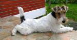 GWENNKI DU HALLIER D'ELTINOR 6 mois, Fox Terrier - Wire Fox terrier (6 months)