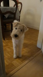 Nando - Male Wire Fox terrier (1 year and 9 months)