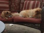 my dogs - Male Pomeranian (6 years)