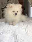 bubulle - Pomeranian (1 year and 1 month)