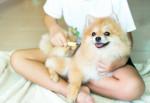 Pomeranian picture