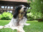 English Setter picture