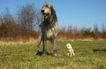irish wolfhound - Irish Wolfhound